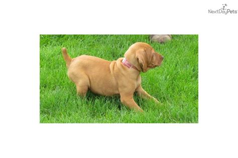vizsla puppies price vizsla puppy for sale near bloomington normal illinois e9624c24 5131