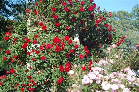 rose gardening rose garden of the spirit befriended stranger