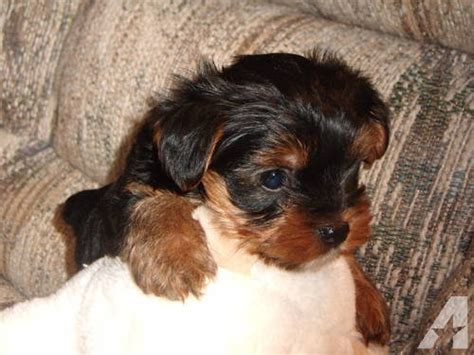 yorkie puppies for sale in va terrier puppies for sale in farmville virginia classified americanlisted