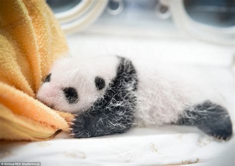 Humidifier Belli To Baby Panda panda cubs make their debut at centre in sichuan daily mail