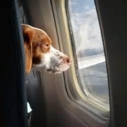 cani in aereo in cabina aerei cani mai pi 249 in stiva tutti in cabina con il