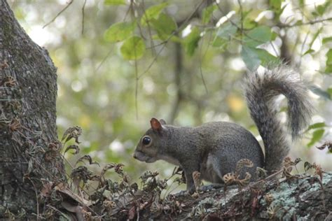 wv metronews west virginia squirrel hunting season opens