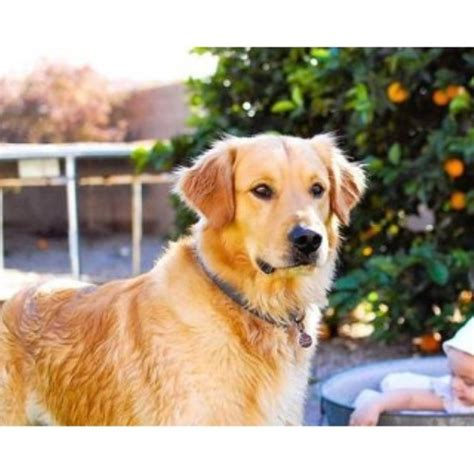 golden retriever az walkers goldens golden retriever breeder in mesa arizona listing id 24960