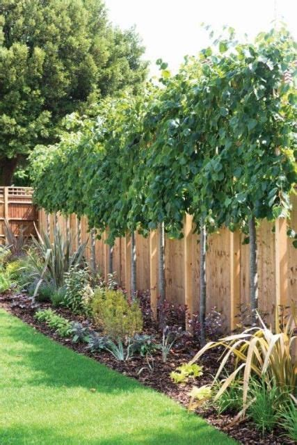 Lime Trees Tilia Perfect For Above Fence Screening Trees For Privacy In Backyard