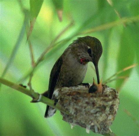 hummingbird feeding its baby a cute a day
