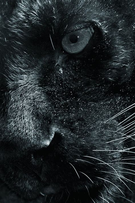 animals closeup panthers wallpaper allwallpaperin