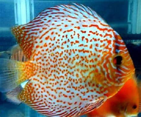 Kenapa Ginseng Mahal 3 jenis ikan discus termahal panduan budidaya al jannah