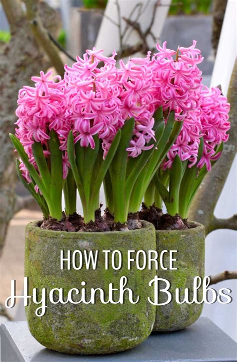 force hyacinth bulbs  indoor flowers longfield