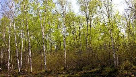 Which Biome Is Logging Hardwood Trees - biology of the ruffed grouse bonasa umbellus