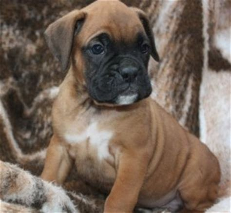 boxer puppies maryland dogs catonsville md free classified ads