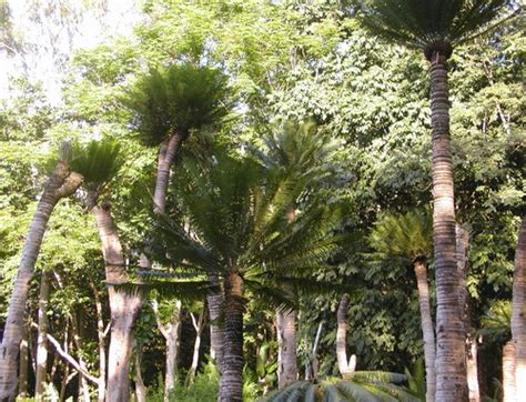 Xishuangbanna Tropical Botanical Garden The Cycad Collection Xishuangbanna Tropical Botanical Garden Cas