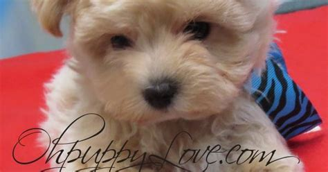small breed puppies for sale small mixed breed puppies for sale in wi breeds picture
