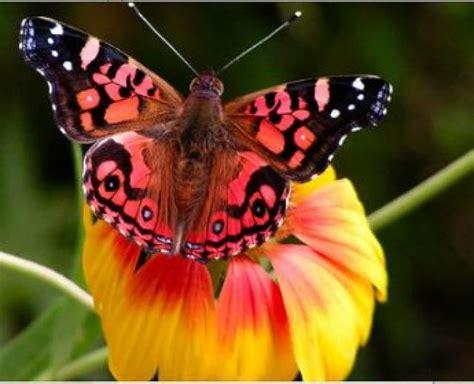 imagenes mariposas rosas reales ranking de curiosidades sobre las mariposas listas en