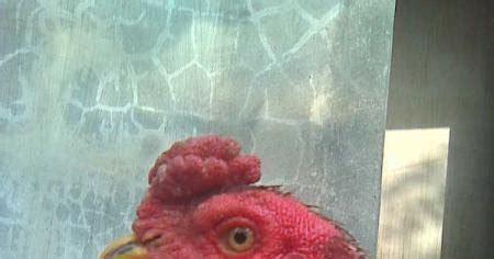 100 Cara Mengenali Karakter cara cepat mengenali karakter tarung seekor ayam petarung