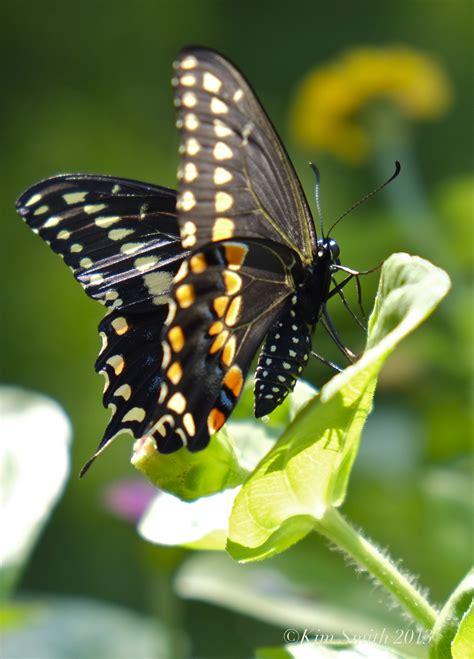 black swallowtail butterfly black swallowtail butterfly kim smith designs