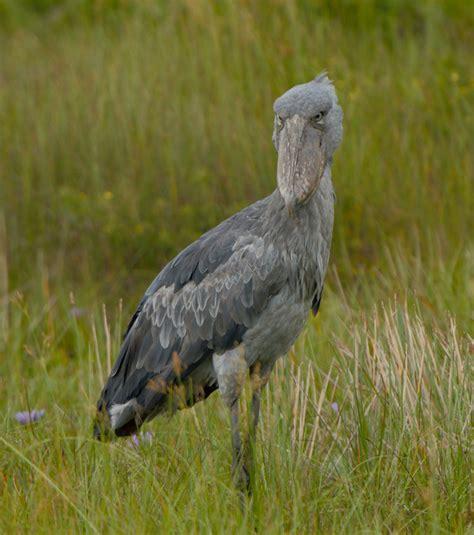 hutte oiseau kapotwe une femelle oiseau bec en sabot sauv 233 e et remise