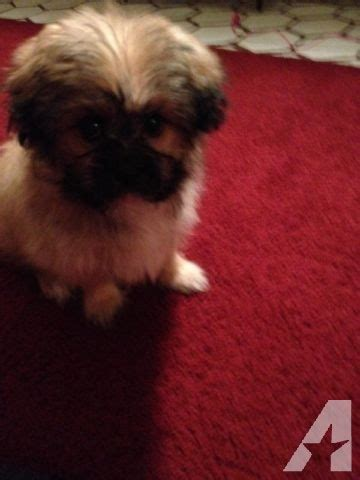 shih tzu and pomeranian mix for sale adorable brantley a shih tzu pomeranian mix for sale in marshall michigan classified
