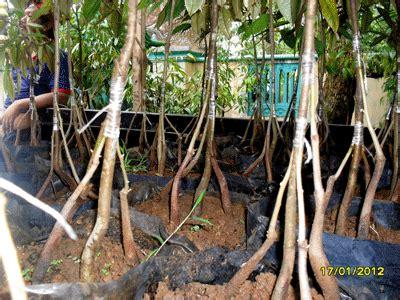 Bibit Durian Bawor Cangkok bibit durian bawor bibit durian montong bibit durian
