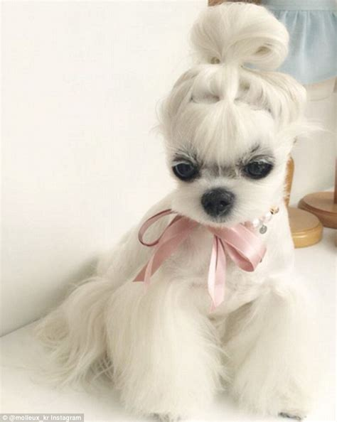 maltese haircut styles pictures miho the maltese s enviable hairstyles are better than