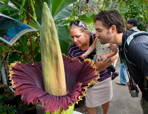 corpse flower rare corpse flower to bloom soon at michigan state usa