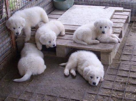 alimentazione pastore maremmano pastore maremmano cucciolo cani taglia grande pastore
