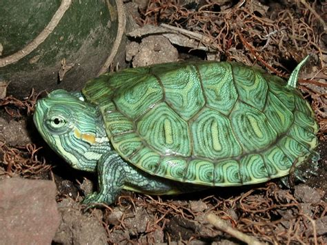 Turtle L by How Can Turtles Live Without Food Turtleholic