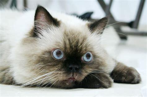Himalayan Cat ? Purrfect Cat Breeds