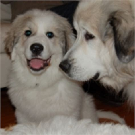great pyrenees colors colorado great pyrenees rescue community great pyrenees