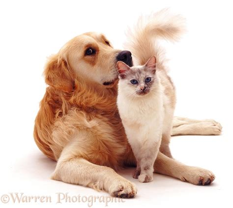 cat and golden retriever pets golden retriever friendly with birman cat photo wp05508