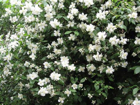 top 10 flowering shrubs cve艸e gajenje nega odr蠕avanje presadjivanje