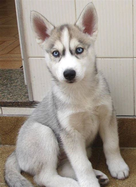 grey husky puppies white husky husky and grey and white on