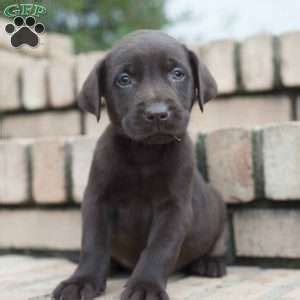 chocolate lab puppies ohio chocolate lab puppies for sale in pa greenfield puppies
