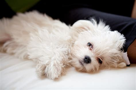 pics of maltese puppies maltese puppies dogtime