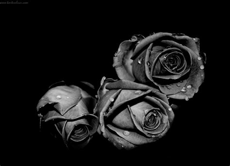 wallpaper mawar hitam hd wallpaper keren mawar hitam gambar kartun lucu dan