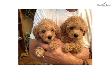 maltipoo puppies for sale florida malti poo maltipoo puppy for sale near ta bay area florida a154f6aa 7df1