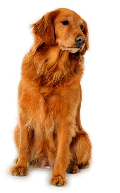 golden retriever dangerous the best dogs