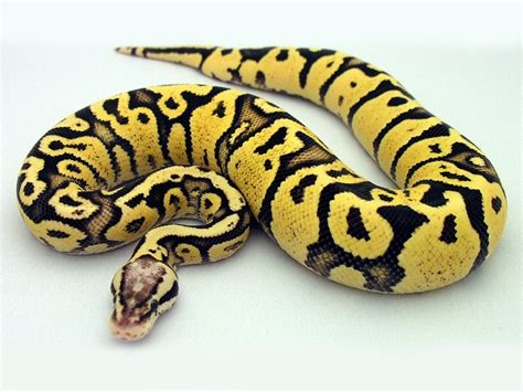 firefly morph list world of ball pythons