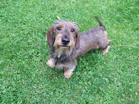 wire haired puppies mini wire haired dachshund mansfield nottinghamshire pets4homes