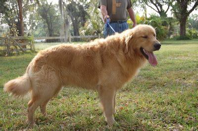 tennessee golden retriever meet us tennessee golden retriever puppies