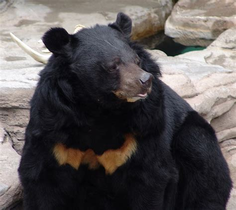 Asiatic Black Bear. | pgcps mess - Reform Sasscer without ...