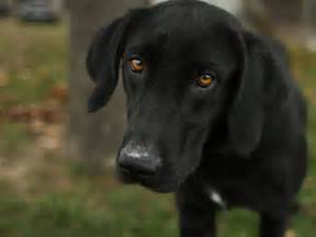 Flanders black labrador retriever