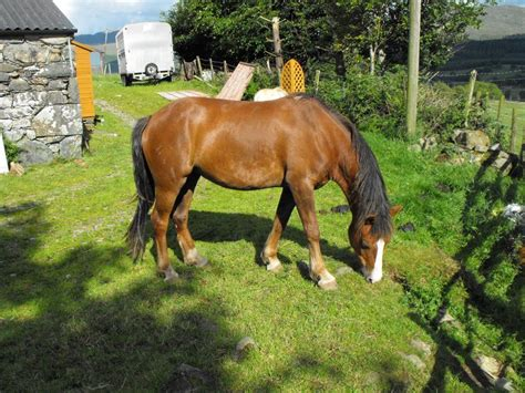 section c for sale beautiful welsh section c mare for sale dolgellau