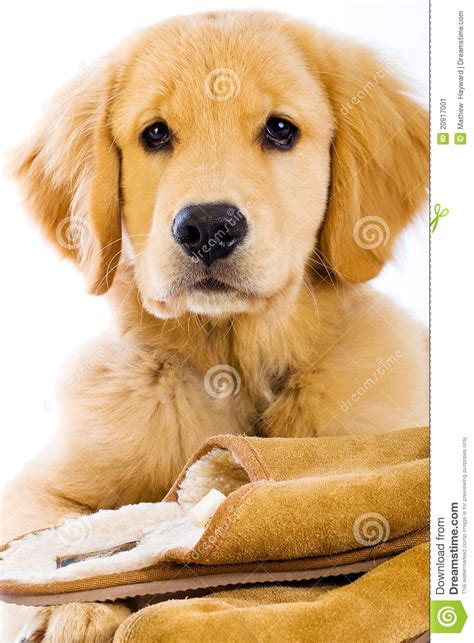 golden retriever slippers golden retriever puppy with slippers stock image image 20917001