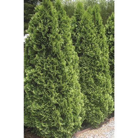 shop 3 58 gallon insignificant emerald green arborvitae l5480 at lowes com
