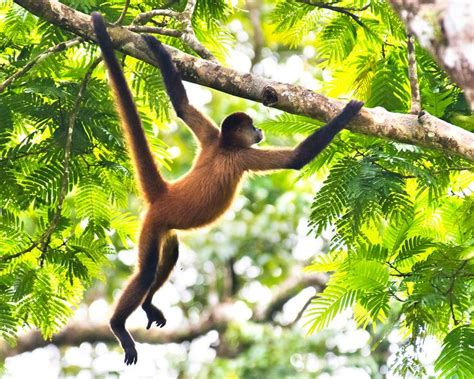 monkeys swinging in a tree monkey swinging from trees google search monkey