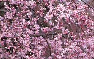 blossom cherry picture wallpapers cherry blossom