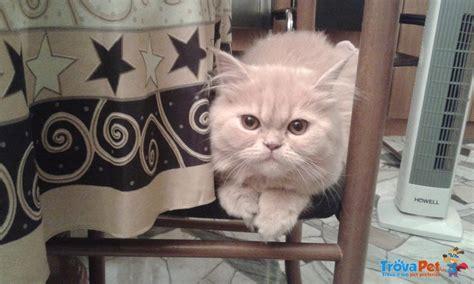 gatta persiana bellissima gatta persiana in vendita a mi