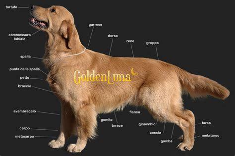 illinois golden retriever il golden retriever goldenluna