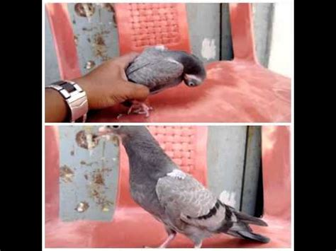 Pigeon Medicine pigeon world pigeon medicine pmv cure
