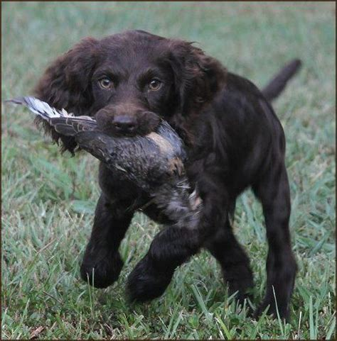 boykin spaniel puppies for sale in sc 25 best ideas about boykin spaniel on boykin spaniel puppies